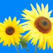 Beautiful yellow flower, colorful sunflower - Stock Photo