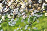 Fleur du pommier au printemps — Photo
