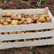 Collected potato after fall vintage on ground — Stock Photo #9992281
