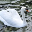Beautiful swan on the lake — Stock Photo