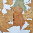 Fall leaves in different colors on white background — 图库照片