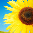 Beautiful yellow flower, colorful sunflower — Stock fotografie