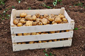 Collected potato after fall vintage on ground — Stock Photo
