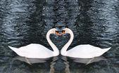 Belos cisnes no lago — Fotografia Stock