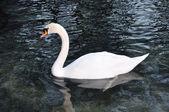Hermoso cisne en el lago — Foto de Stock