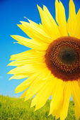 Beautiful yellow flower, colorful sunflower — Stock Photo