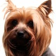 Cute yorkshire terrier - Stok fotoraf