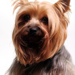 Cute yorkshire terrier - Stock Photo