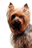 Cute yorkshire terrier — Stock Photo