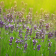 Beautiful sprigs of lavender - Stock Photo