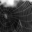 Stock Photo: Cobwebs with dew