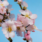Blossoming almond trees — Stock Photo