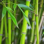 A bamboo grove — Stock Photo