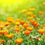 Marigold flowers — Stock Photo #9803480