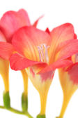 Beautiful flowers freesia — Stock Photo
