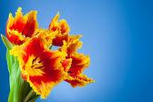 Beautiful yellow red tulips — Stock Photo