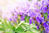 Iris violeta — Foto de Stock