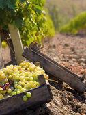 Grape crop — Stock Photo