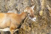 Young mouflon — Stock Photo