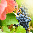Blue grapes - Stock Photo
