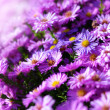 Stock Photo: Asters