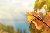 виноградные ветки — Стоковое фото