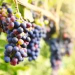 Blue grapes — Stock Photo #8516732