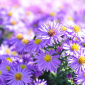 Asters — Stock Photo