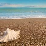 Shell on beach — Stock Photo #8619349