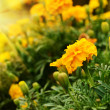 Tagetes - Stock Photo