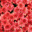 Chrysanthemums - Stock Photo