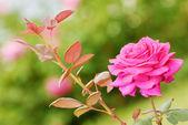 Rose rose — Photo