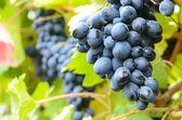 Blå druvor — Stockfoto