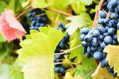 Blauwe druiven — Stockfoto