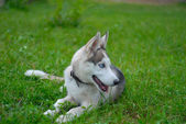 Siberian Husky sled and working dog — Stockfoto
