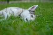 シベリアの殻犬 — ストック写真