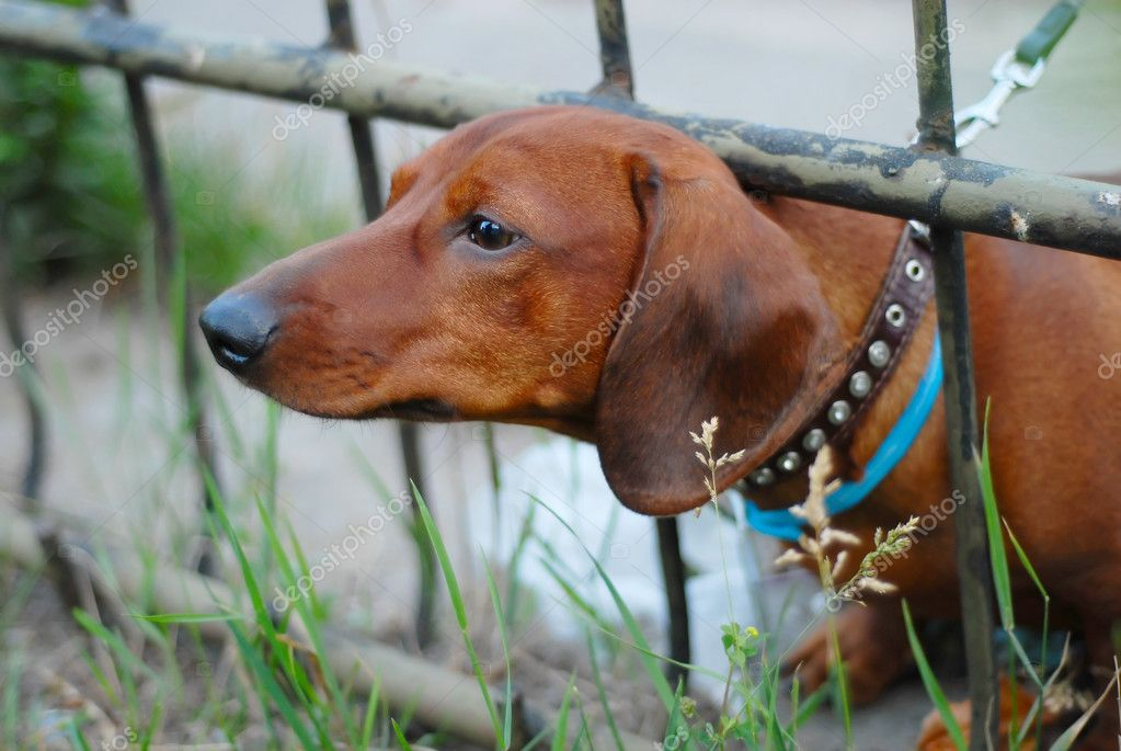 Dachshund dog curiosity climbs over the fence — Stock Photo #8076481