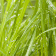 Fresh wet grass — Stock Photo