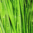 Stock Photo: Grass with drops