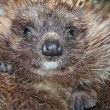 Stock Photo: Hedgehog spines snout nose