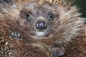 Hedgehog spines snout nose — Stock Photo