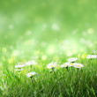 Stock Photo: Daisies in the grass,