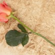 Rose on parchment — Stock Photo