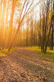 Forest landscape in evening time — Stock Photo