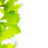 Oak leaves on white background — Stock Photo