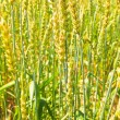 Wheat ears on field — Stock Photo