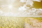 Campo de trigo e céu nublado com sol de cor em tom marrom — Foto Stock