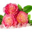 Pink roses isolated on a white background — Stock Photo