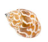 Beautiful exotic shell on white background — Stock Photo