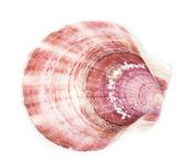 Prachtige exotische shell op witte achtergrond — Stockfoto